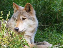 Wolf by ShutterSerpent