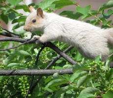 White Squirrel by Kitteh-Pawz