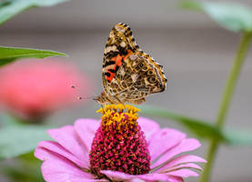 Painted Lady on a Zinnia Flower by Kitteh-Pawz