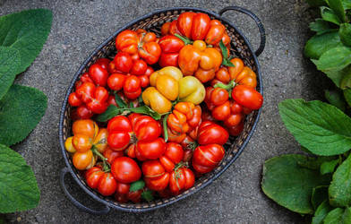 Reisetomate Tomatoes by Kitteh-Pawz