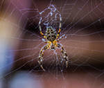 Cross Spider by Kitteh-Pawz