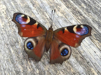 Butterfly Pfauenauge on wood 02 by ChrisBay101