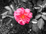 Lone Rose by Oceanisuna