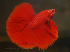 red halfmoon betta by iwishfoalife