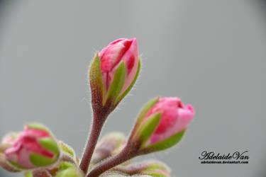 Pelargonia-Geranium 1 by AdelaideVan
