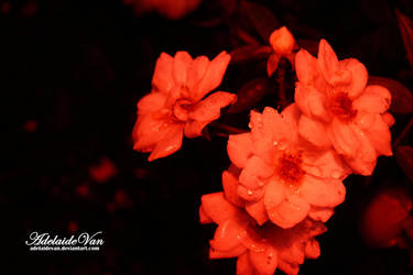 Flowers are red... by AdelaideVan