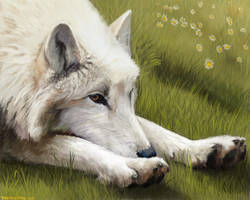 White Wolf Lounging by wylieblais