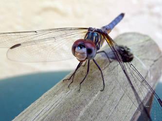 The same dragonfly by ceemdee