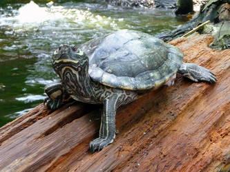 Just a turtle by ceemdee
