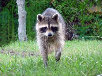 Raccoon by ceemdee