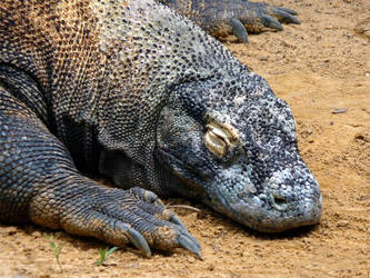 Komodo Dragon by ceemdee