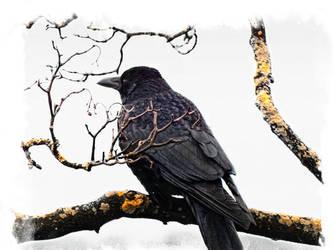 raven bird sitting on tree branch by 4dpaul