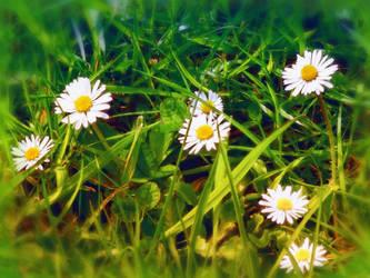 daisy in my back garden by 4dpaul