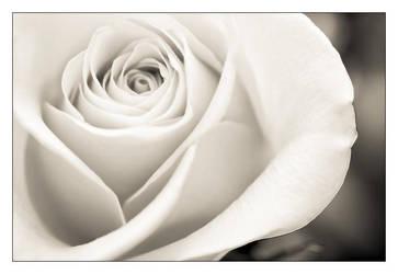 Single White Rose by RaVeN8472