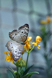 White Peacock Butterfly + Yellow Milkweed by sara-satellite