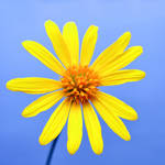 Sunny Wildflower -square- by sara-satellite