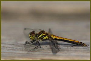 Dragon Fly by FeatureShare