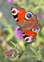 Red butterfly 6 by BogdanCh