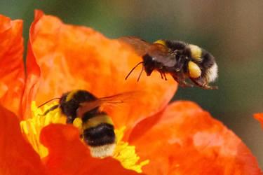 Bumble bee by Drumlanrig