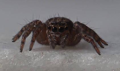 Jumping spider by Drumlanrig