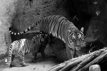 tiger tiger black and white by ElvishPirateGypsy