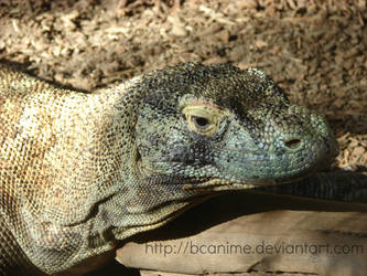 Komodo Dragon - Jan. 2014 by BCAnime
