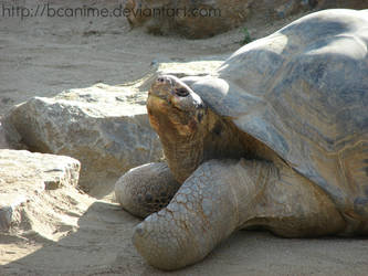 Galapagos Tortoise - Jan. 2014 by BCAnime