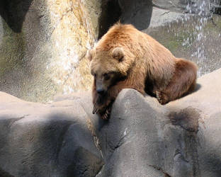 Grizzly at Riverbanks Zoo by fionartan