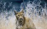Black Hills Hamburg Lynx In Internet Savanna by flashoverheels