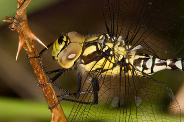 Southern Hawker by naturelens