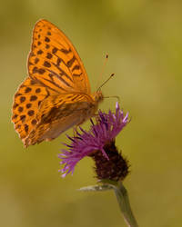 Silver-washed Fritillary by naturelens