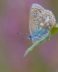 Common Blue 2 by naturelens