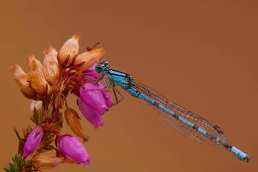 Common Blue Damselfly by naturelens