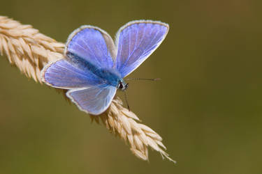 Common Blue 3 by naturelens
