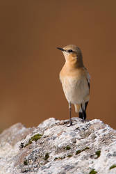 Wheatear by naturelens