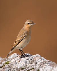Wheatear 1 by naturelens