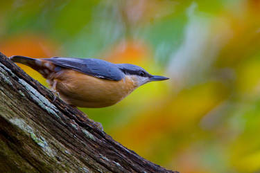 Nuthatch 10 by naturelens