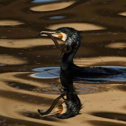 Cormorant by naturelens