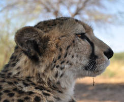 Cheetah - stock by kridah-stock