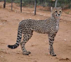 Cheetah cub - stock by kridah-stock