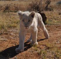 White lion cub - stock by kridah-stock