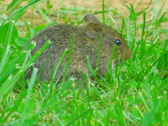 Field Mouse by GrawNexusTheory