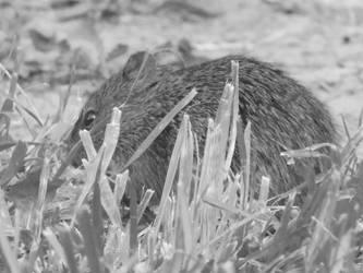 BW Field Mouse by GrawNexusTheory