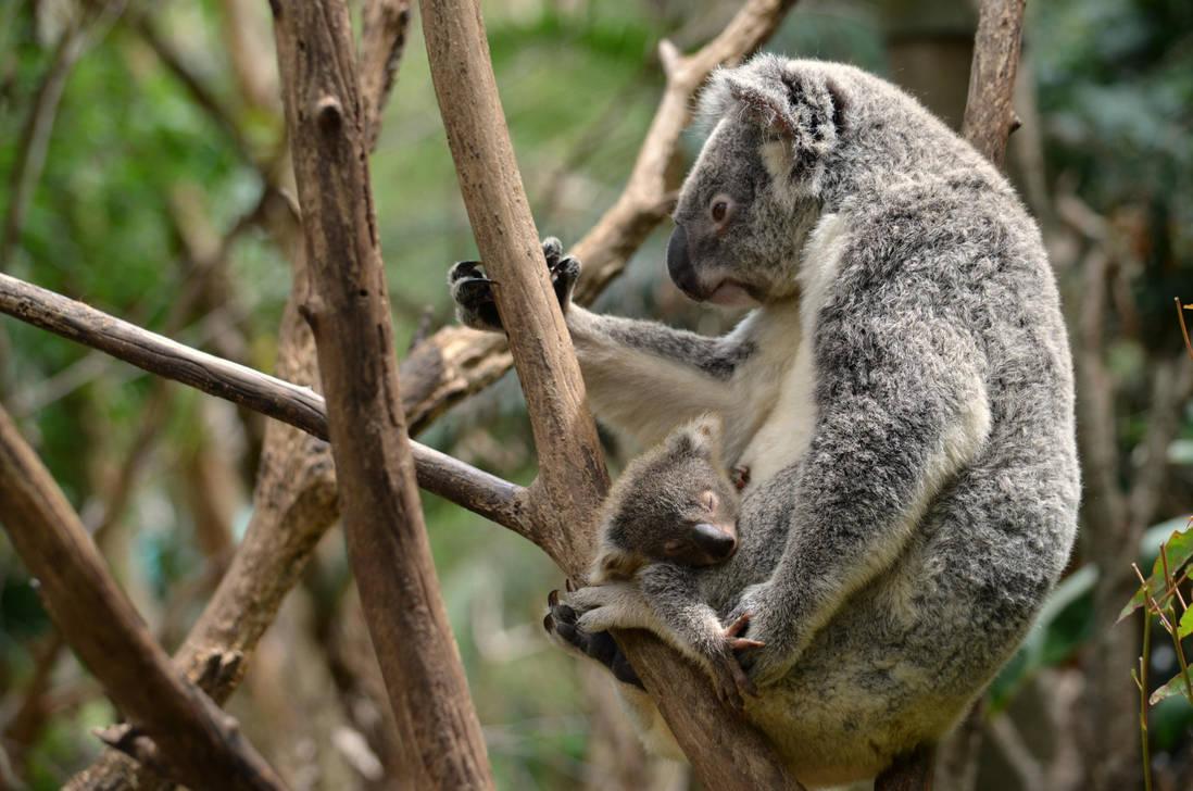 Koala Wallpaper By Shutter Shooter On Deviantart