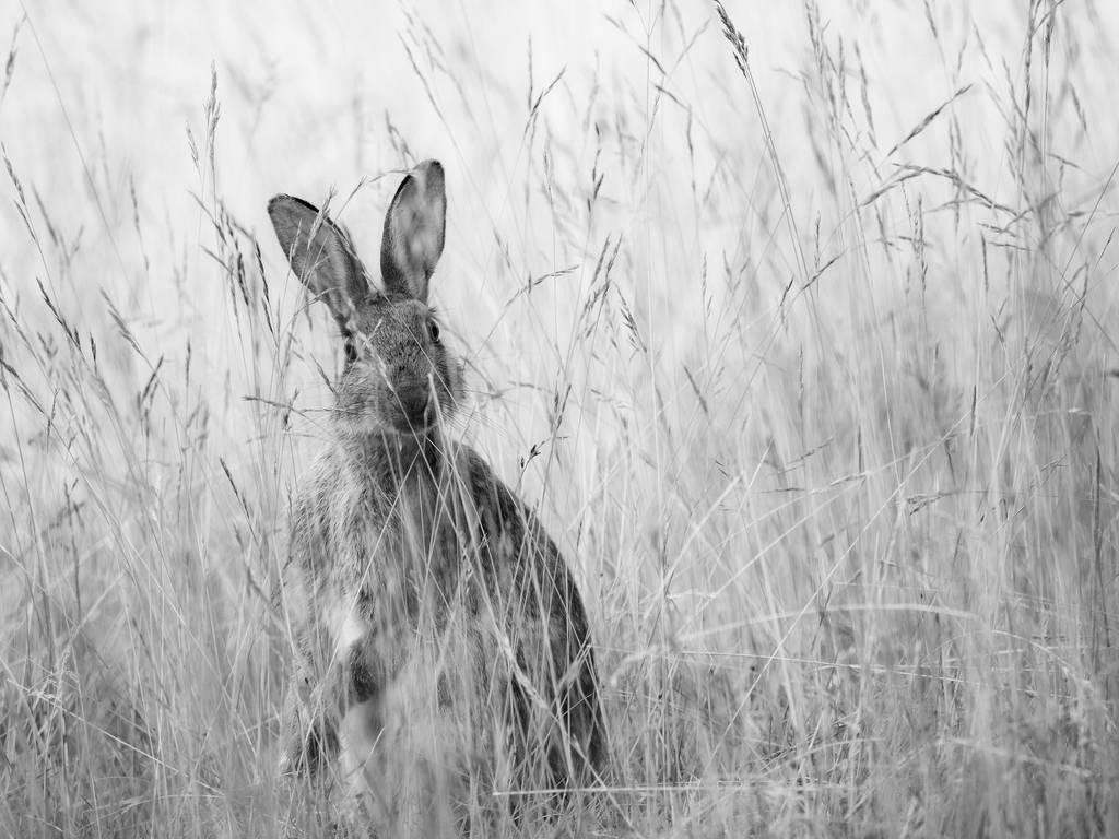 Hare in the Grass by davepphotographer