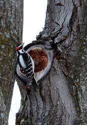 Woodpecker by xJaneirax