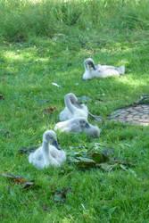 Swans by darthsabe