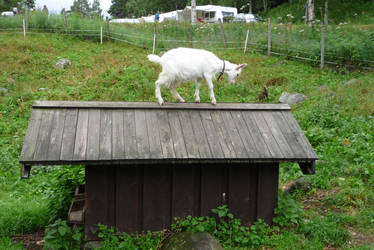 Goat on a roof by darthsabe