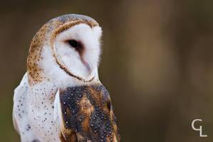Barn Owl by Goro38