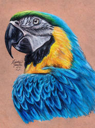 Blue and Gold Macaw by KristynJanelle